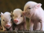 pigs_at_pennywell_S-e13692882095921